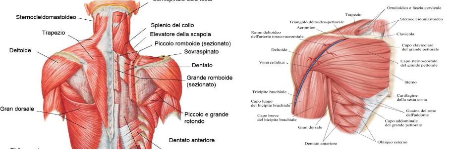 Posizionatori dell'omero e dettagli anatomia sppalla